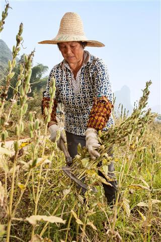 Sesame harvest