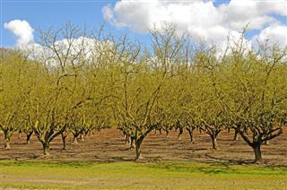Willamette Filberts