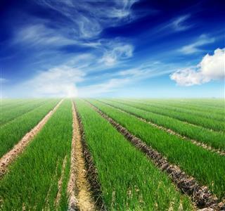 Shallots farm