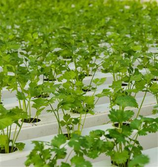 Coriander plantation