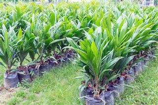 Oil palm saplings