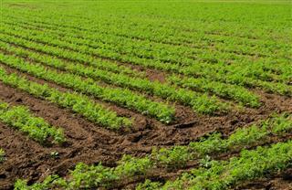 Celery plant in field