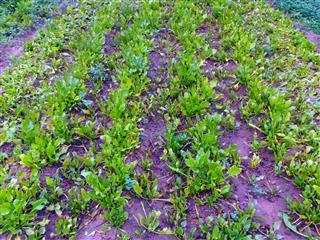 Spinach crop