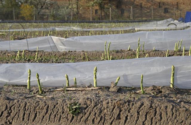 Asparagus Harvest starts