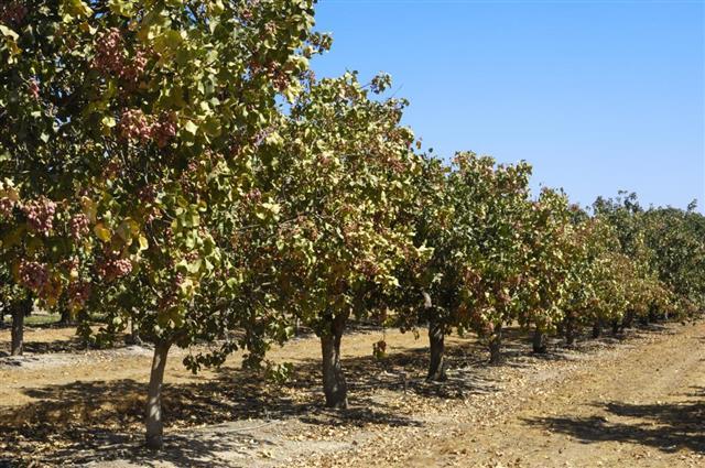 Orchard of Pistachio Nut