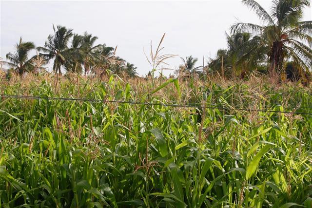 Sorghum crop