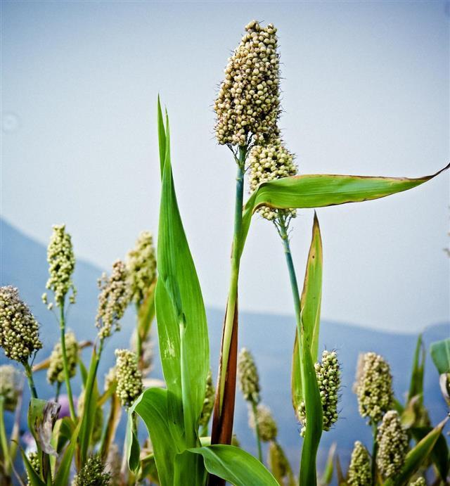 Corn of Sorghum bicolor, Jawar