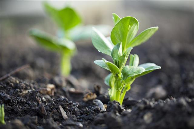 Lima bean plant