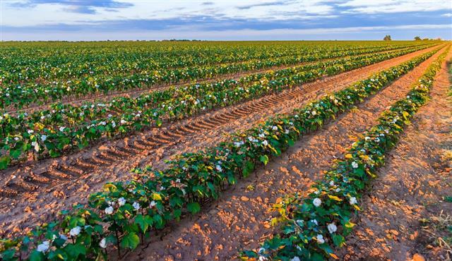Cotton plants rows in field