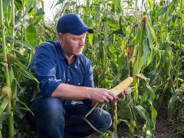 Farmer in a Corn field Inspecting Corn