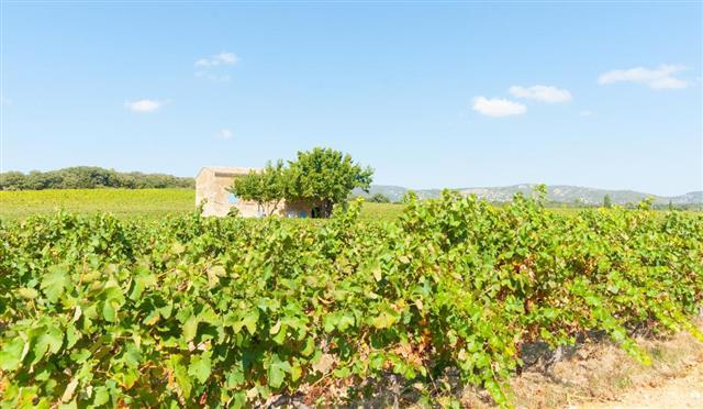 Vineyards of southern France