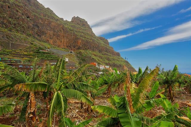 banana Landscape
