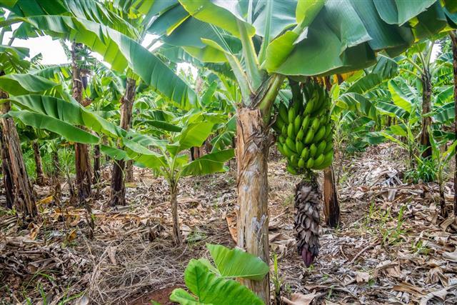 banana bunch on the plantation