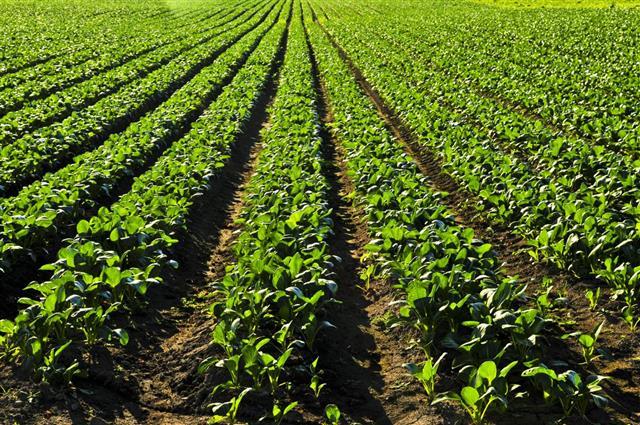 turnip plants in a field