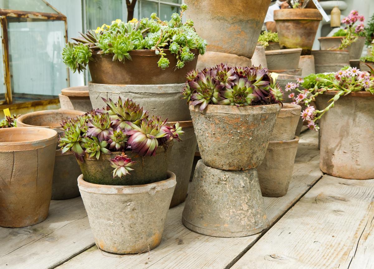 18 Succulent Sedum Plant Varieties With Brilliant Pictures