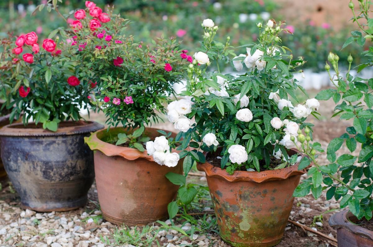 Floribunda Rose Care