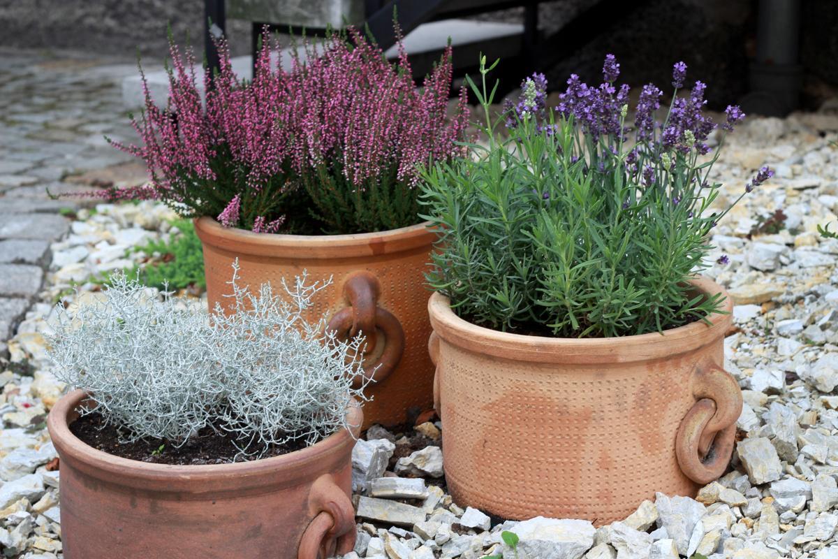 growing lavender for profit turn your hobby into cash. Black Bedroom Furniture Sets. Home Design Ideas