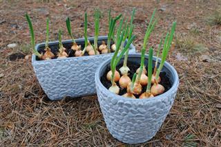 onion seedlings in planter