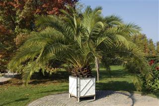 Phoenix palm in planter