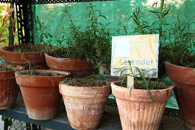Lavender Herb Pots