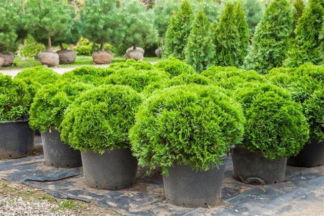 Cypresses plants