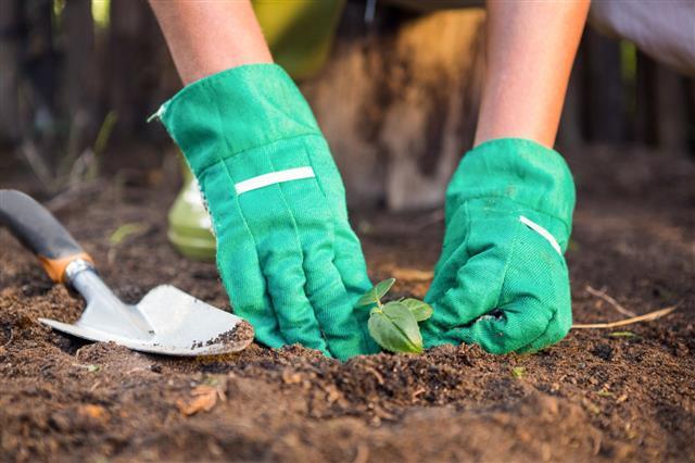 Gardener Planting Seedling