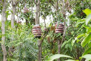 Grafting mango tree branch