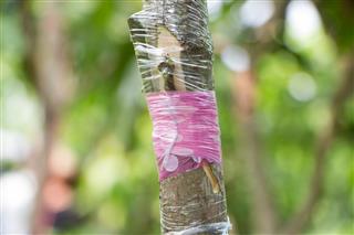 Grafting on mango tree branch