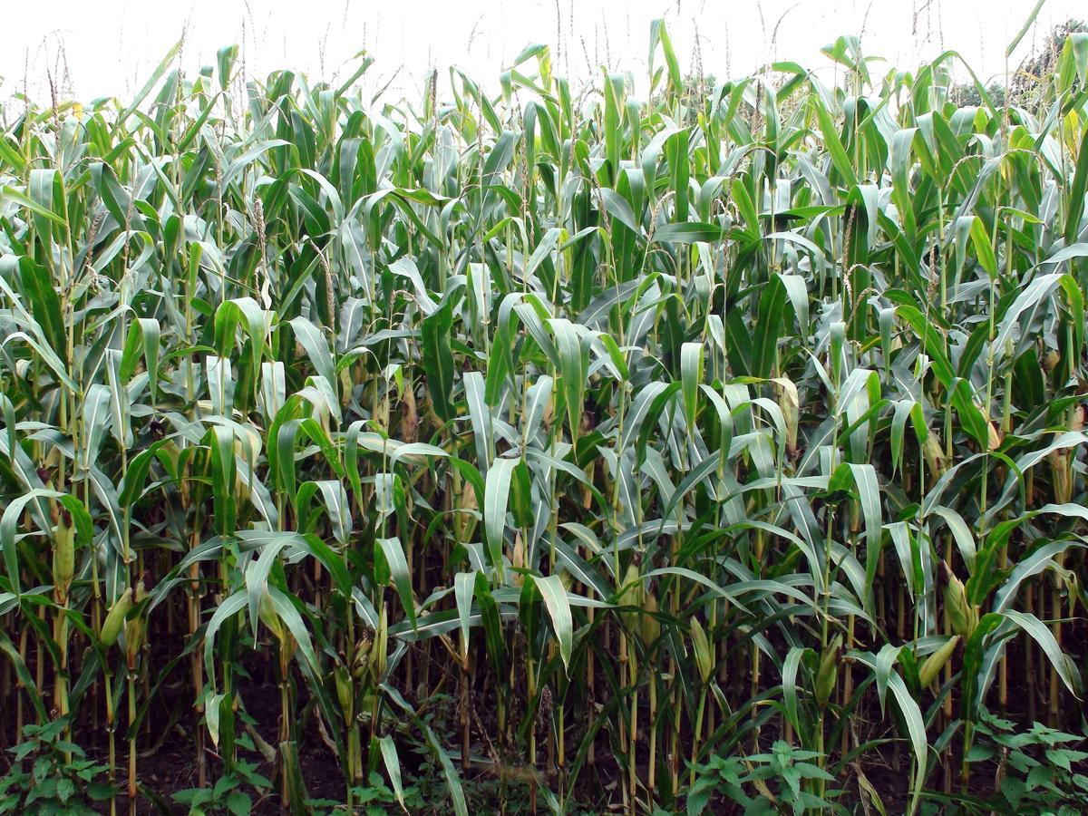 Corn Plant Care