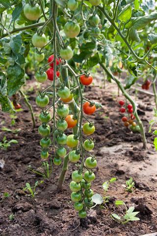 Tomatoes  Plant