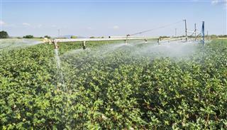 watering in Cotton farm