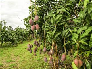 Mango Fruits are Ripening