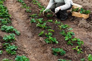 planting strawberries plants