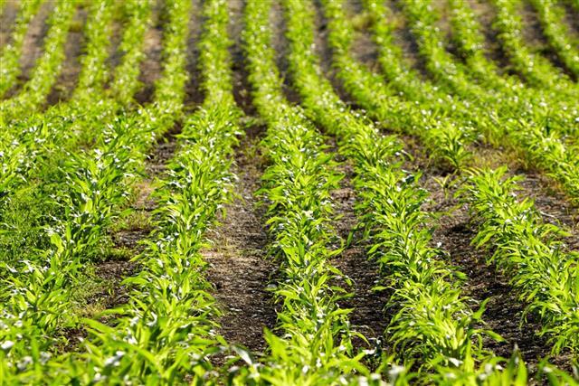 Organic corn plants