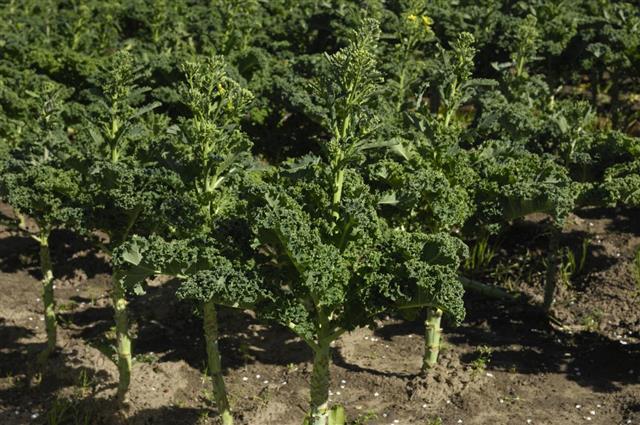 Organic Curly-leaf Kale