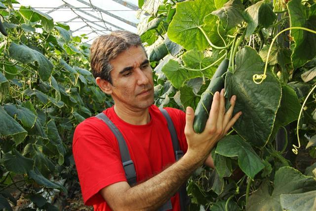 cucumber cultivation