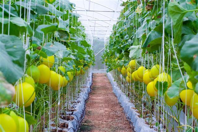 Canary melon