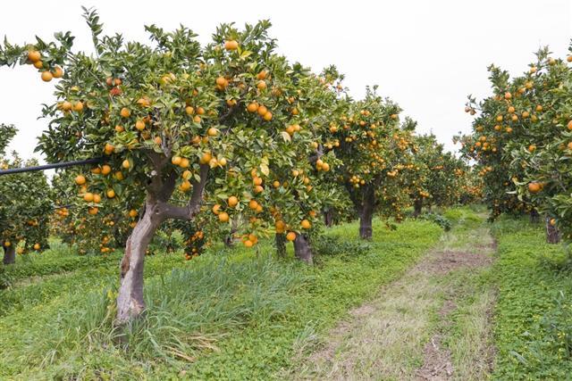 Organic orange orchard