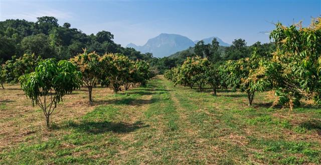 Organic mango farm