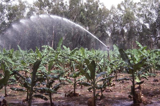 watering banana crops
