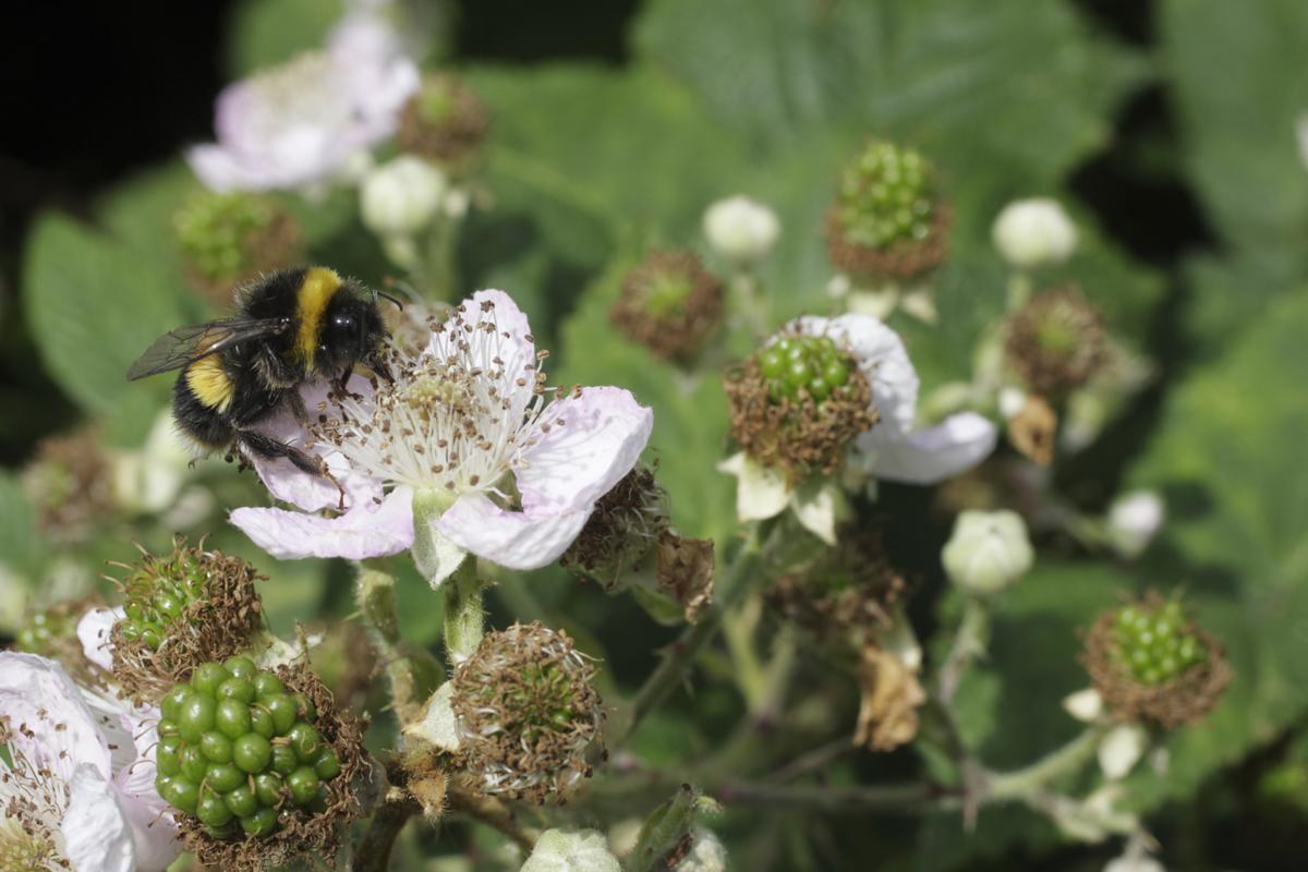 How to Identify Blackberry Plants