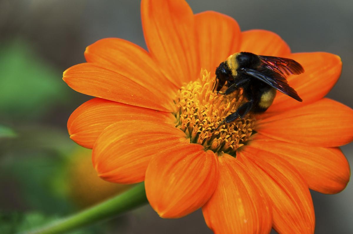 Do Black Bees Sting?