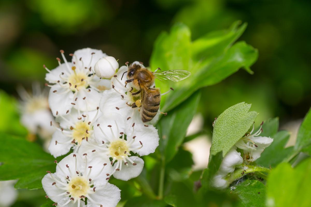 Growing jasmine plants know the diseases that may affect them bee on flowers of jasmine bee gathering pollen on bird cherry tree izmirmasajfo