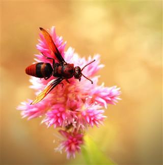 Honeybee pollinating pink flower