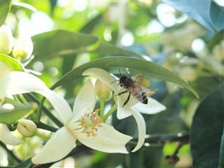 Orange blossom with bee