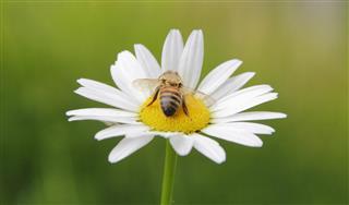 Wasp and Daisy
