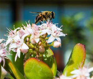 Honeybee Collecting Pollen From Jade Plant