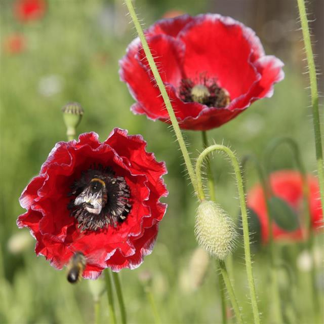 Poppy Pollination