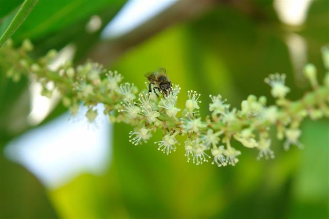Honeybee pollinating Sea Grape Flowers