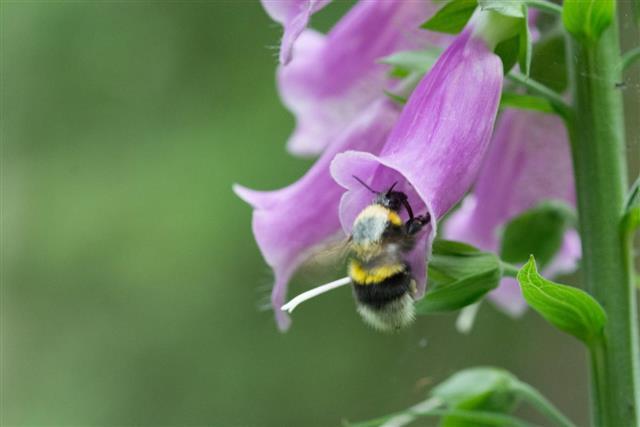 Bumblebee on foxglove